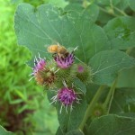 Burdock flowers provide essential nectar to pollinators from late summer to early fall. If you're a diligent gardener, let the plants flower for the good bugs and then behead them before they dry and set seed.