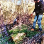 Pruning the prolific black raspberry canes at The Village of Arts and Humanities and PhillyEarth permaculture site