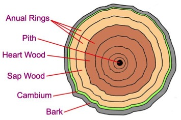Old Phloem Cells Become Bark Wood Tree Rings Roots