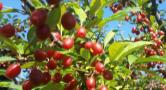 Ripe goumi berries on a prolific shrub