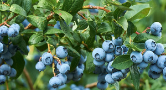 A bountiful blueberry bush weighed down with ripe blue fruit