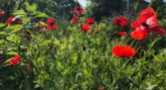 Bright red poppies shine in the sun