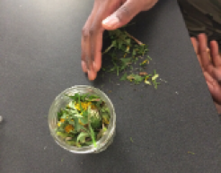 A glass jar holds dandelion flowers and leaves on a gray table, while one hand sweeps a pile of chopped plants to a hand waiting under the table edge to collect it.