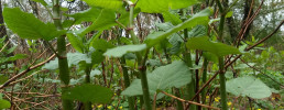 A close-up ground-level view of Japanese knotweed, with its bright green stems and leaves shaped like narrow hearts