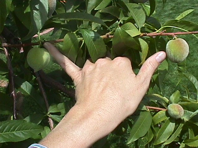 Thinning Fruit Trees