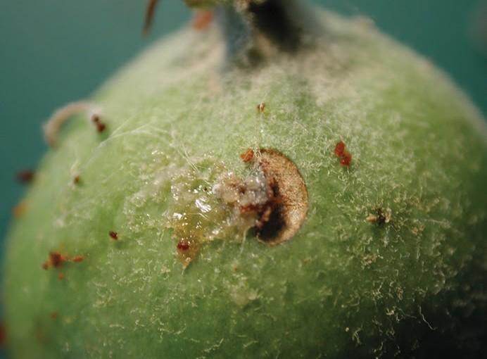 Plum Curculio: A Pome and Stone Fruit Pest