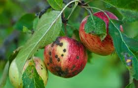 Studies on Biology and Management of Apple Scab Incited by ...