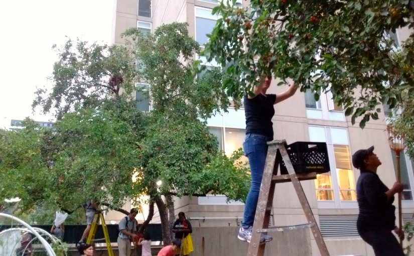 POP and UPenn Team Up Again To Make Use of Unharvested Campus Fruits