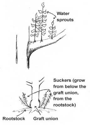 sprouts and suckers