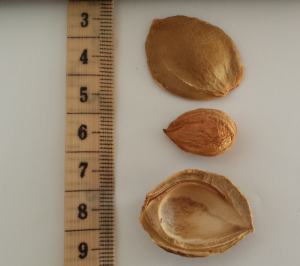 Apricot kernel and hull