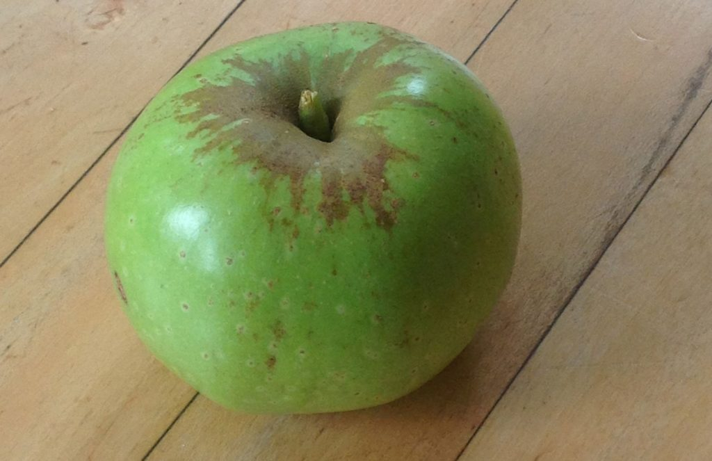 The first 'Tulpehocken' apple harvested from the orchard. This is a rare heirloom variety originating in Pennsylvania!