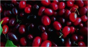 Cornelian Cherry Fruit Coloration
