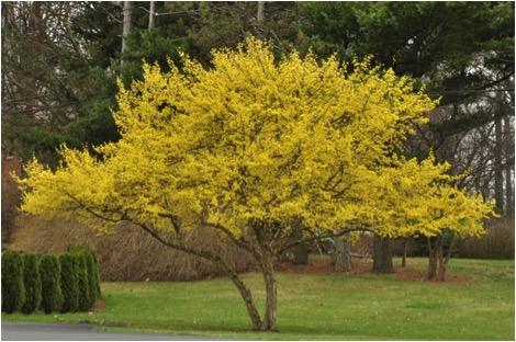 Cornelian Cherry (Cornus Mas), An Early Bloomer