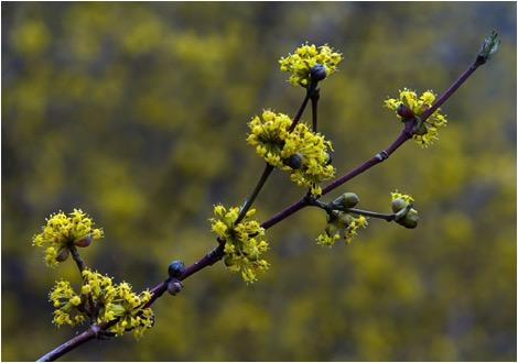 Yellow flowers philadelphia orchard project cornelian cherry yellow flowers mightylinksfo