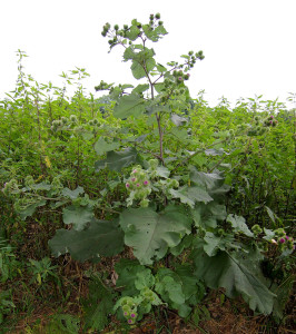 Burdock's leaves can grow to 2 feet long and mature flower stalks can reach 9 feet, completely dwarfing young fruit trees!