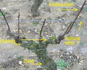 Structure_of_a_grape_vine