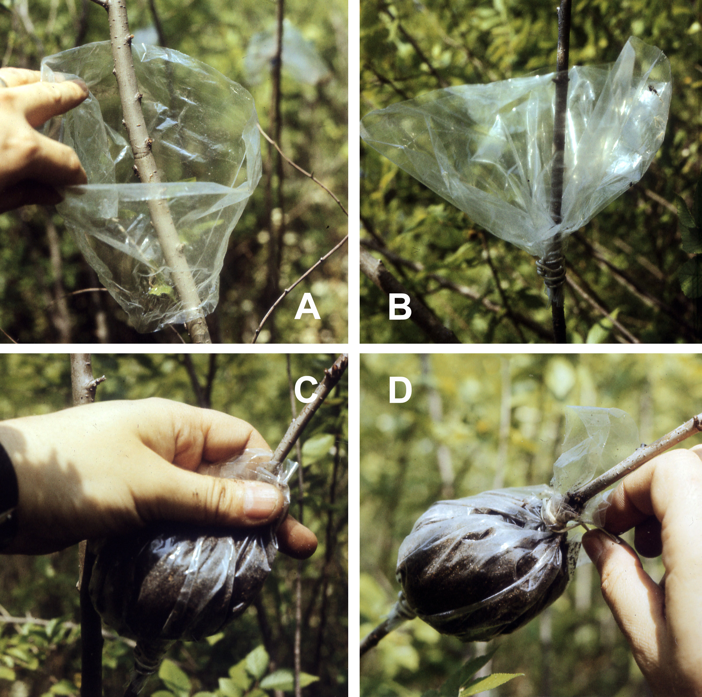 Edible Perennial Propagation: Cuttings and Layering