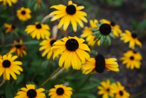 Black-Eyed Susan is an easy-to-propagate herbaceous perennial planted in many POP community orchards as an insectary plant.