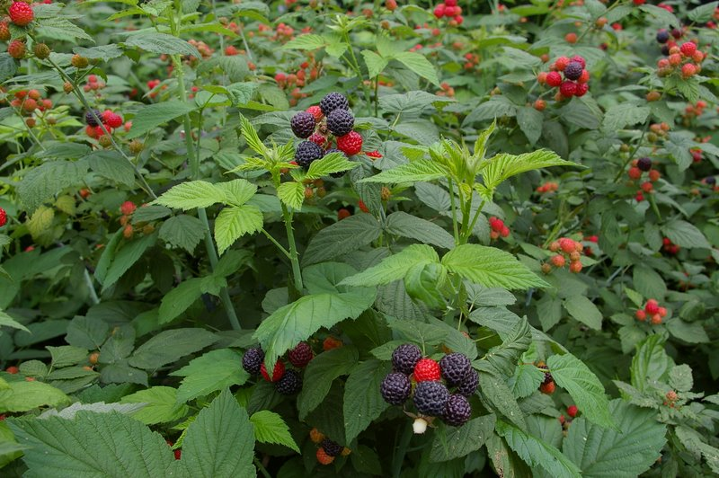 how to grow raspberries from cuttings