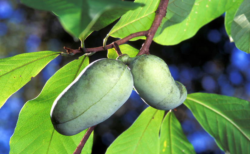 Plant Spotlight: Meet the Pawpaw! (Asimina triloba)