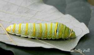 Zebra Swallowtail Butterfly Caterpillar Eating a Pawpaw leaf