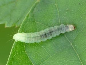 Tortricid moth larva