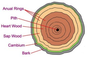 Tree Tissue Layers
