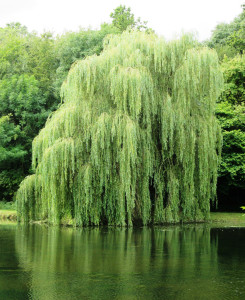 Inserting cuttings from the growing tips of any willow branches or watering with willow tea will supply the plants' natural infection-fighting chemicals and rooting hormones to your cuttings!