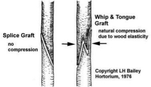 Types of graft cut