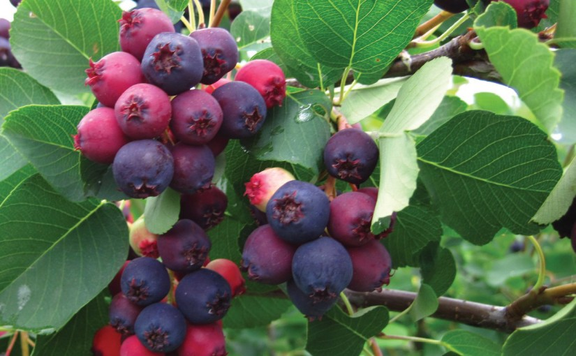 Plant Spotlight: The Joyful Juneberry (Amelanchier spp)