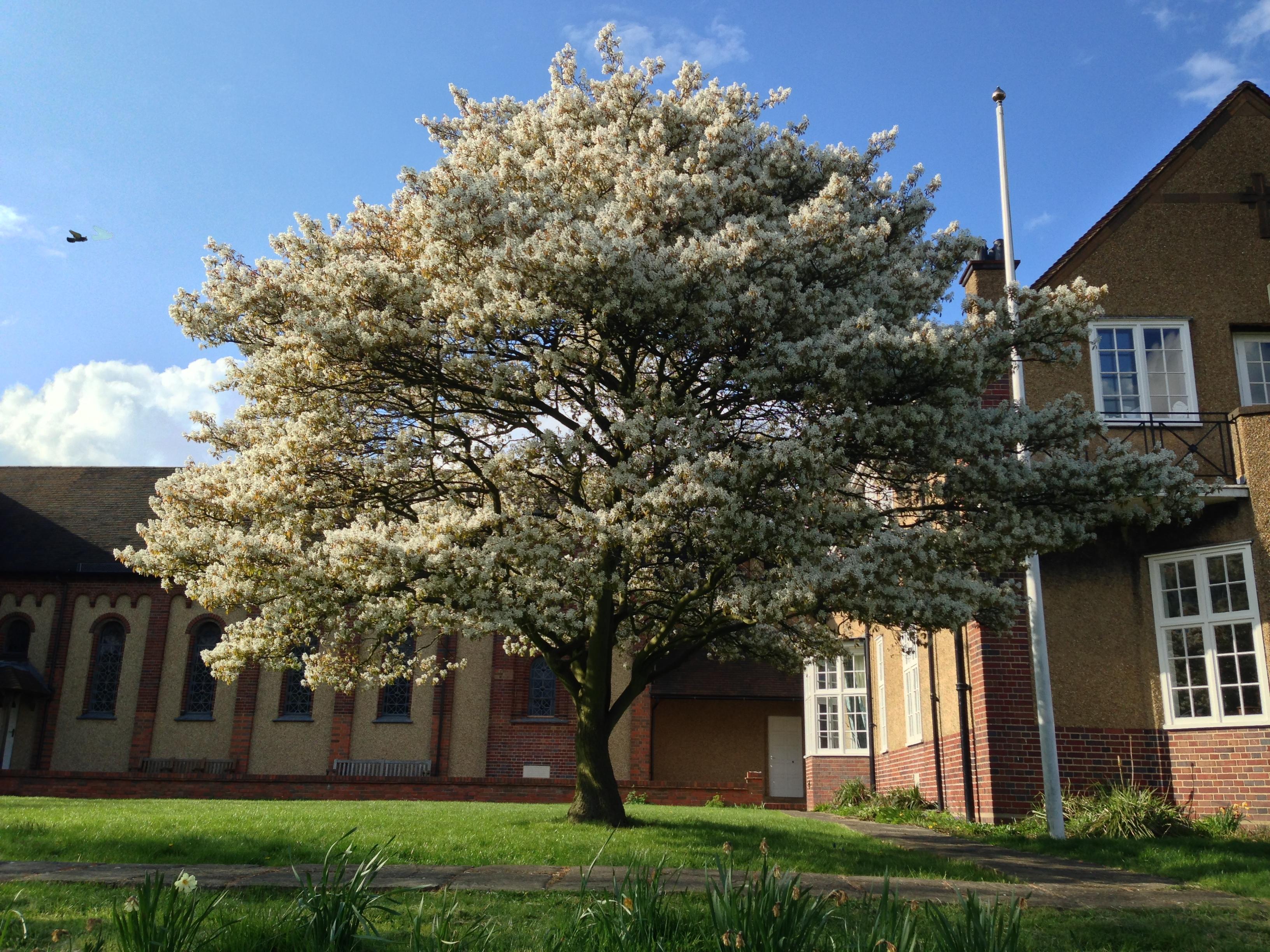 Plant spotlight the joyful juneberry amelanchier spp for Serviceberry tree