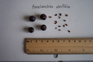 Juneberry seeds