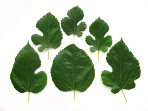 Different Kinds of Mulberry Leaves