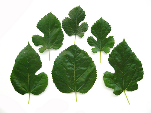 Mulberry Tree Leaves Images