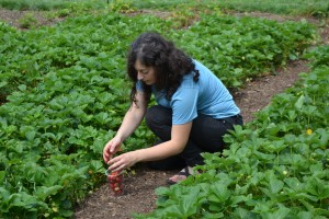 Alyssa Schimmel has worked with us for two seasons. Here, she harvests strawberries at the annual Strawberry Festival at Historic Strawberry Mansion.