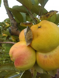 The Calville Blanc cultivar, with yellow skin and flesh, was one of the first and best apples I sampled.
