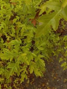 A wild Malus toringa leaf-shape