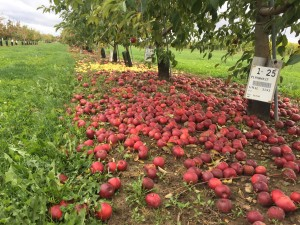 Because this isn't a production orchard, all the fruit falls to the ground, creating a rainbow of fruit.