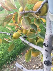 """Malus ioensis """"Texana"""" - Texas crabapple"""