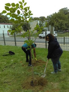 Planting an Illinois Everbearing Mulberry Tree in the Historic Fair Hill Community Orchard in Fall 2016
