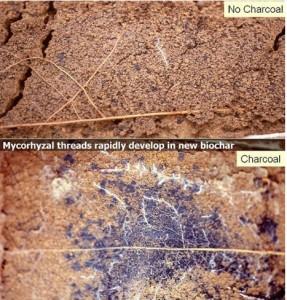 mycorhyzal