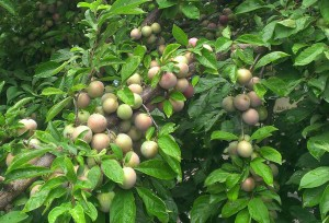 Mill Creek plums
