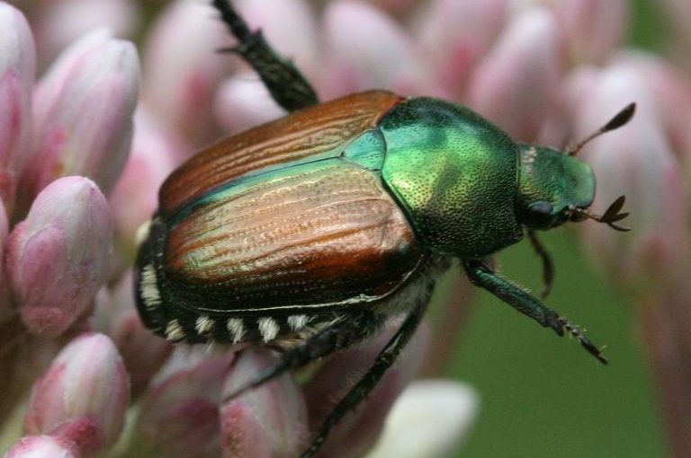 Beetle Invasion! Coping with Japanese Beetles