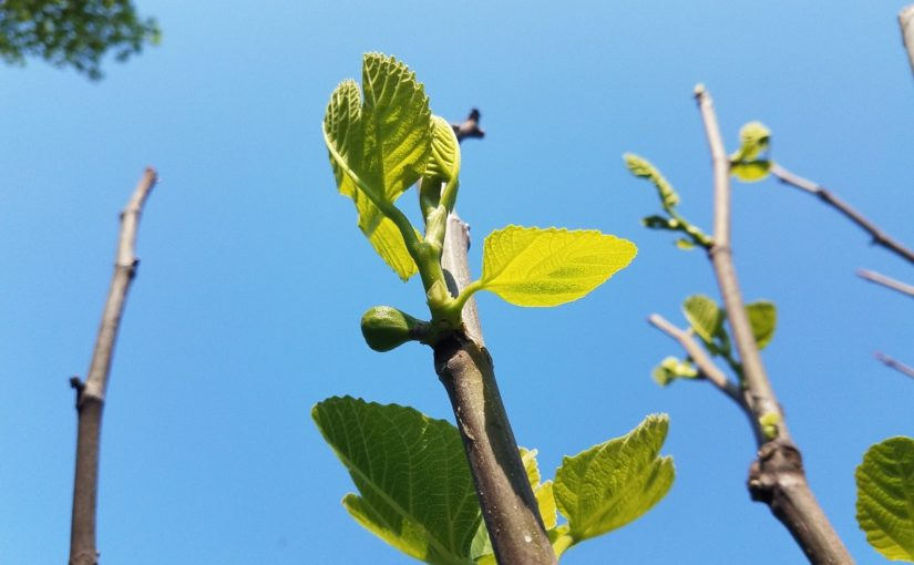 Fig winter die-back and spring pruning