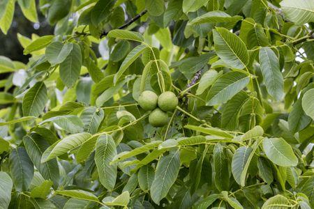 PLANT SPOTLIGHT: Black Walnut (Juglans nigra) – Philadelphia
