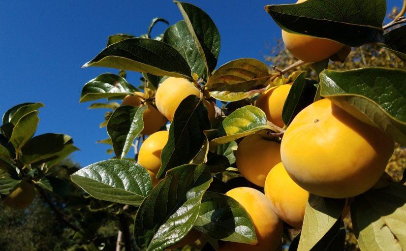 PLANT SPOTLIGHT: Persimmon (Diospyros)