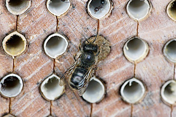 Mason Bees: Philly's Friendly Pollinators