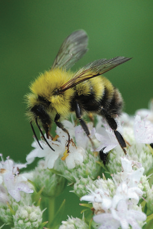 ISSUE BRIEFING: Threats to Honeybee & Native Bee Populations and What You Can Do!