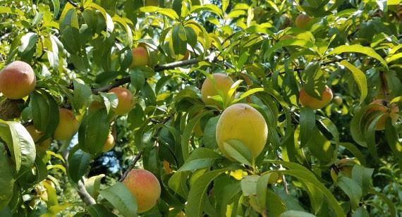ripening peaches