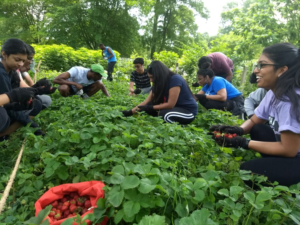 Ten volunteers sit or kneel as they weed the strawberry patch and harvest berries at Woodford Mansion in East Fairmount Park on the morning of POP's 2019 Strawberry Fest